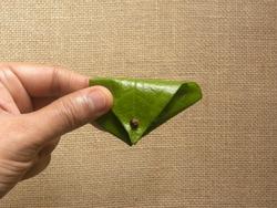 Hand holding green color Betel quid or Beeda Paan
