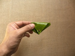 Hand holding green color Betel quid or Paan