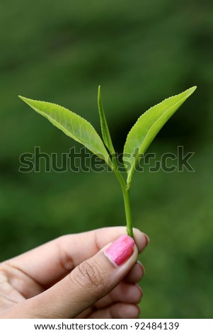 Hand holding green tea leaf against green