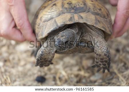 Hand holding Hermann's Tortoise - Testudo hermanni boettgeri in Kas, Antalya Province, Turkey, Asia