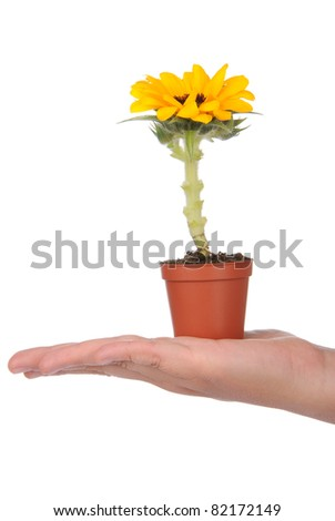 Hand holding pot with small sunflower on white background