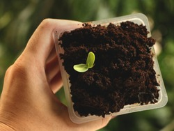 Hand Holding Square Plastic Cup of Sunflower Seed Growing in Coffee - Natural Green Background - Saving the Environment Concept - Earth Day