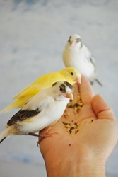 Hand holding young canaries feeding seeds