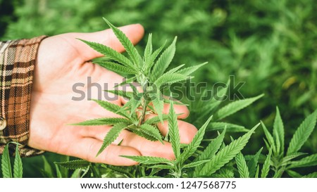 Hand holding young cannabis plant grown commercially for hemp production. Industrial hemp oil and fiber production. Greenhouse operations.