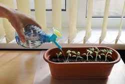 Hand holds bottle with nozzle for watering and watered the seedlings in pot, on table near window with shutters