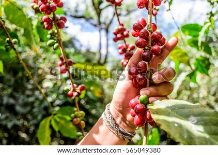 Hand holds branch of ripening coffee beans, Antigua, Guatemala, Central America