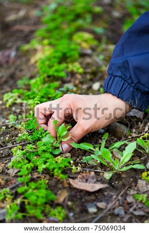 Hand of a farmer woman weeding through a row of parsley