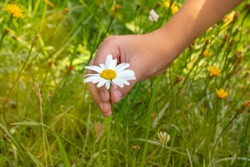 Hand of a little girl, in the field, picking a daisy flower