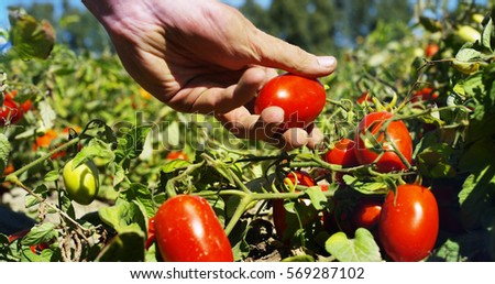 Shutterstock hand of a young farmer touches Italian tomatoes to control quality and ensure that they are the most good