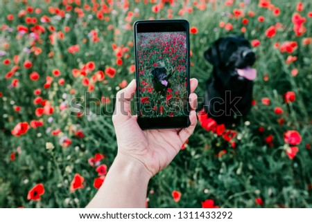 hand of a young woman taking a picture with mobile phone to a beautiful black labrador in a poppy field Spring concept