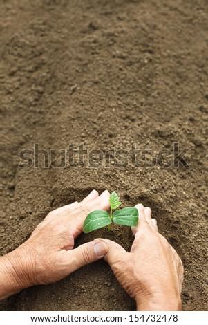 Hand of farmer planting seedlings