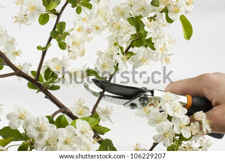 hand of gardener trimming apple tree branch with secateurs on white background
