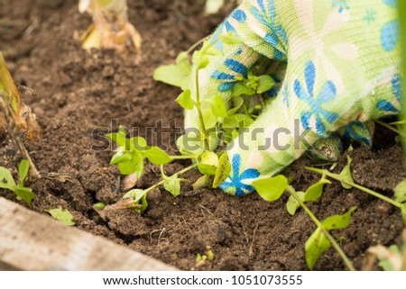 Hand Of Gardening Weeding Superfluous Weed Grass In Vegetable Beds Close Up. Control Of Weeds. #1051073555