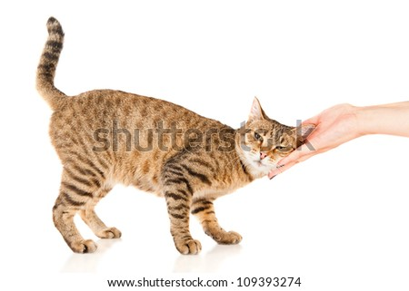Hand of persons stroking a tabby cat