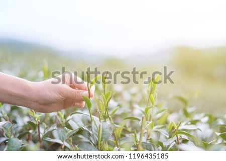 Hand of someone pick tea leaf in tea plantation on warm light with copy space. #1196435185