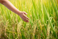 Hand of woman touching a  rice in the paddy field at North of Thailand,Concept background.