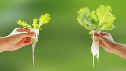 Hand of young man holding hydroponic pot with vegetable seedling growing on sponge isolated on blurred background with clipping path. Comparison of growing vegetables without soil from two plant site.
