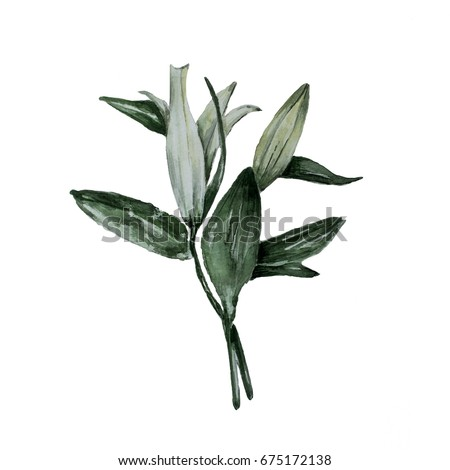 Hand paint flower lilly. Natural: leaves, flowers, Isolated on white background. Artistic decoration illustration. Save the date, weddign design,valentine's day. Nature theme. Nature theme.