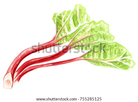 hand painted watercolor rhubarb vegetable isolated on white background