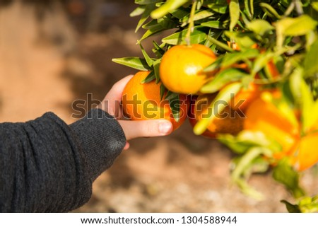 Hand picking clementines from tree #1304588944