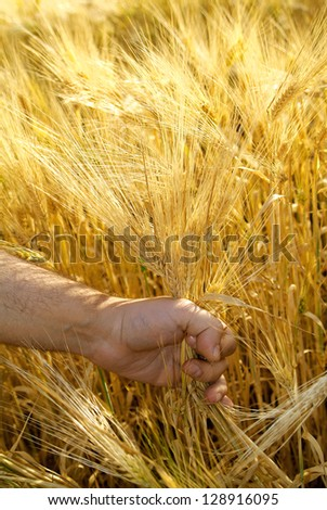 Hand picking ears of corn in the field