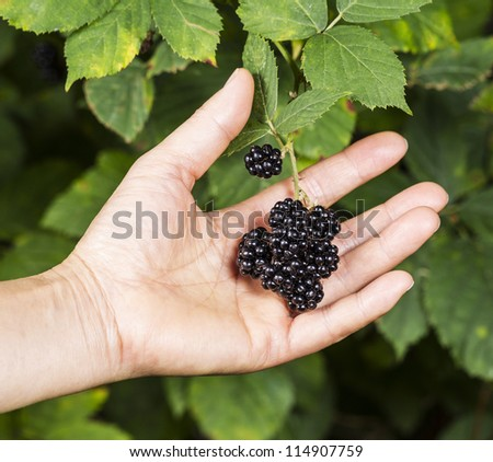 Hand picking fresh blackberries during peak season with bushes in background