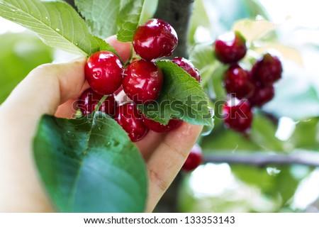 Hand picking fresh delicious cherry, closeup