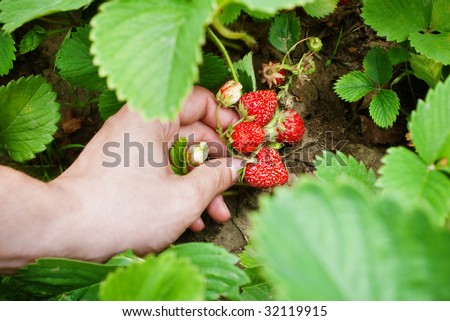 Hand picking up ripen strawberries from the bush