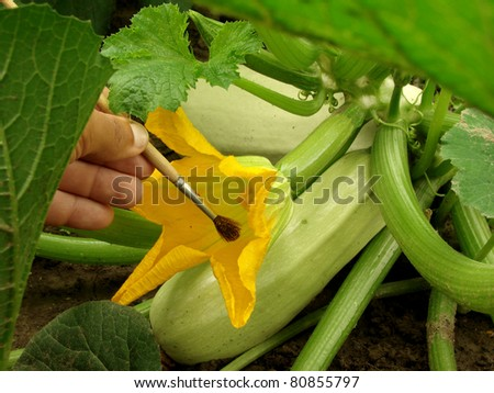 hand pollination marrow flower with brush