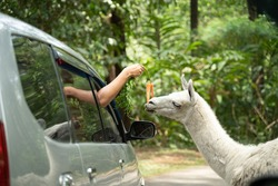 hand portrait out of the car window feeding Llama while in the safari park