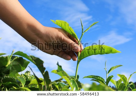 hand put the tea leaf