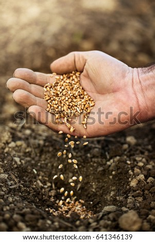 hand sowing wheat seeds #641346139
