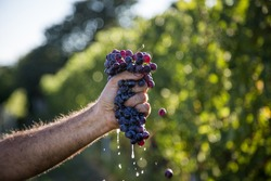 hand squeezing grapes of nebbiolo