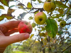 Hand takes an apple from the tree. Harvest in organic farming. Apple tree disease, sooty blotch and flyspeck.
