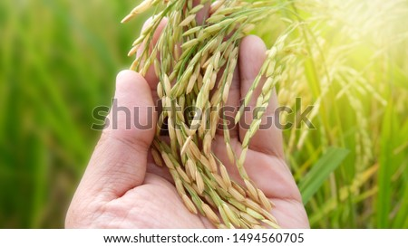 Hand tenderly touching a young rice in the paddy field,Hand holding rice with warm sunlight, Closeup of yellow paddy rice field with golden sun rising in autumn.