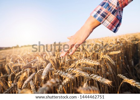 Hand touches cereals. Farmer walking through the field checking crops. Soft hands gently touching golden wheat ears in the field.