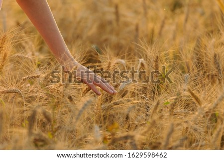 Hand touches spikelets on a wheat field
