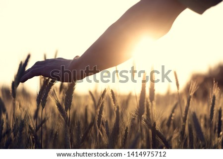 Hand touches the cereal. Concept of protection and care for grain. Shallow depth of field and the setting sun shine from the back.
