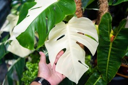 Hand touching the full white variegated leaf of the Monstera Albo half moon.