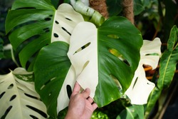 Hand touching the Monstera Albo half moon variegated borsigiana plant in the garden