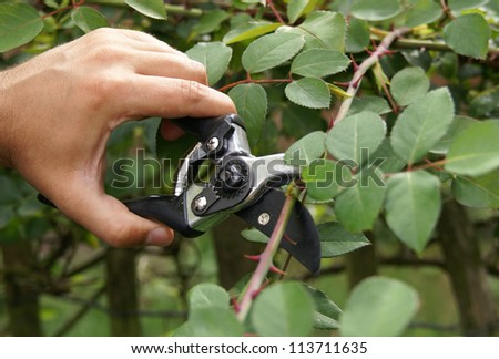 Hand trimming a bush with secateurs