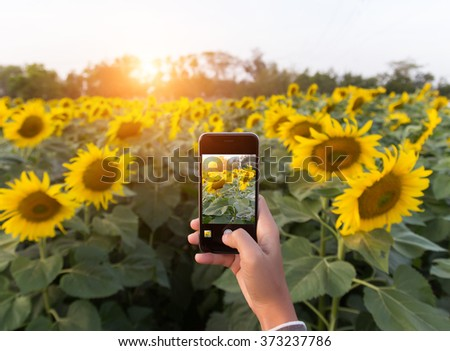 hand using phone taking photo beauty sunflower field #373237786