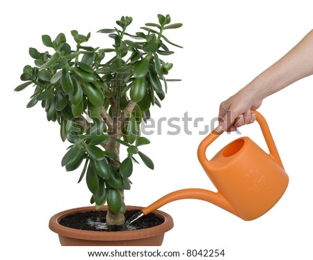 Hand watering dollar plant (Crassula ovata) isolated on white with clipping path