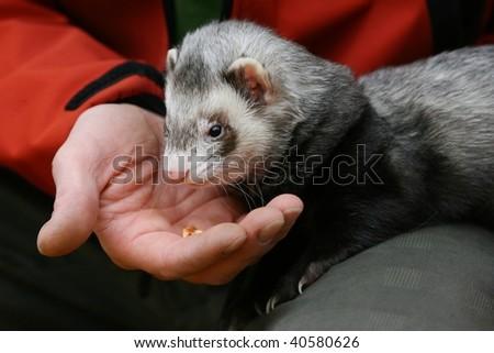 Hand with ferret - stock photo