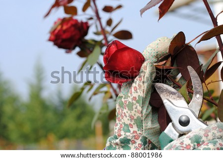 hand with garden gloves trims a rose