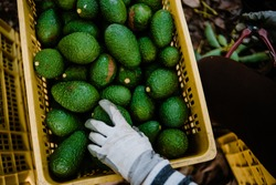Hand with gloves working taking some avocados from a box. Hass Avocados Harvest Season