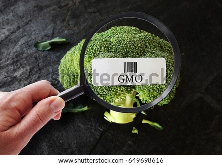Hand with magnifying glass examining broccoli with GMO label                              #649698616