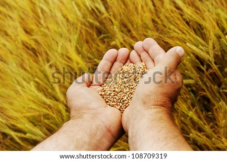 Hand with seeds and wheat land.