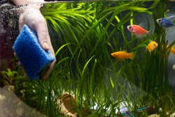 Hand with sponge cleaning aquarium with plans and fish.