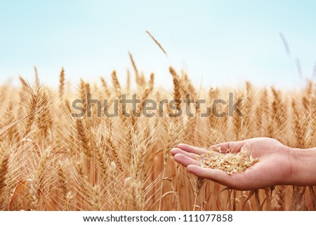Hand with wheat on field background